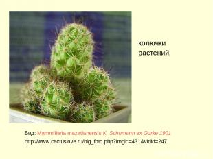 колючки растений, Вид: Mammillaria mazatlanensis K. Schumann ex Gurke 1901 http: