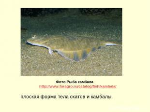 плоская форма тела скатов и камбалы. Фото Рыба камбала http://www.foragro.ru/cat