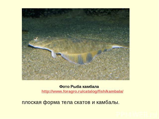 плоская форма тела скатов и камбалы. Фото Рыба камбала http://www.foragro.ru/catalog/fish/kambala/