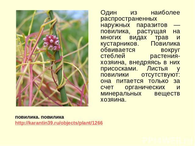 Один из наиболее распространенных наружных паразитов — повилика, растущая на многих видах трав и кустарников. Повилика обвивается вокруг стеблей растения-хозяина, внедряясь в них присосками. Листья у повилики отсутствуют: она питается только за счет…