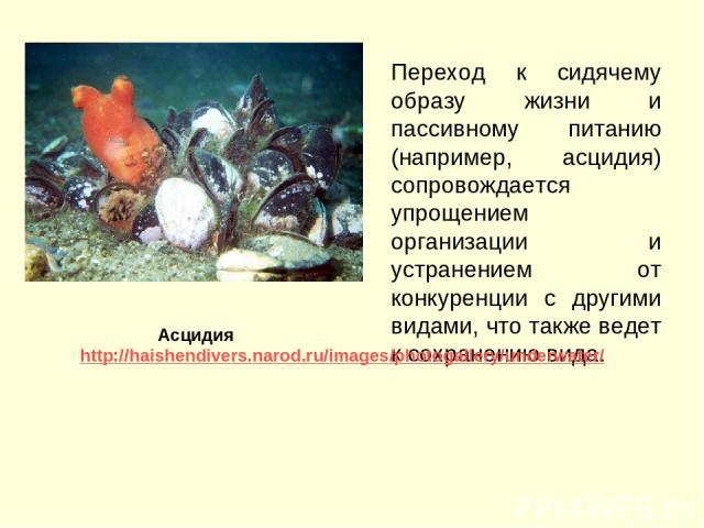 Переход к сидячему образу жизни и пассивному питанию (например, асцидия) сопровождается упрощением организации и устранением от конкуренции с другими видами, что также ведет к сохранению вида. Асцидия http://haishendivers.narod.ru/images/photogaller…