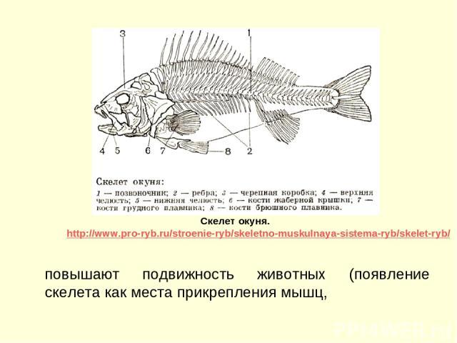 повышают подвижность животных (появление скелета как места прикрепления мышц, Скелет окуня. http://www.pro-ryb.ru/stroenie-ryb/skeletno-muskulnaya-sistema-ryb/skelet-ryb/