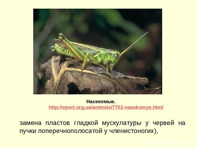 замена пластов гладкой мускулатуры у червей на пучки поперечнополосатой у членистоногих), Насекомые. http://vport.org.ua/animals/7702-nasekomye.html
