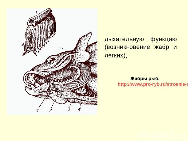 дыхательную функцию (возникновение жабр и легких), Жабры рыб. http://www.pro-ryb.ru/stroenie-ryb/organy-dyhaniya-ryb/