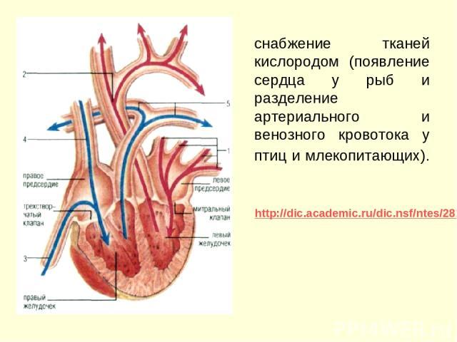 снабжение тканей кислородом (появление сердца у рыб и разделение артериального и венозного кровотока у птиц и млекопитающих). http://dic.academic.ru/dic.nsf/ntes/2812/МЛЕКОПИТАЮЩИЕ