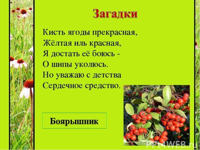 Кисть ягоды прекрасная, Жёлтая иль красная, Я достать её боюсь - О шипы уколюсь. Но уважаю с детства Сердечное средство. Боярышник