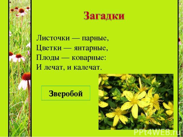 Листочки — парные, Цветки — янтарные, Плоды — коварные: И лечат, и калечат. Зверобой