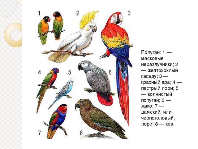 Попугаи: 1 — масковые неразлучники; 2 — желтохохлый какаду; 3 — красный ара; 4 — пестрый лори; 5 — волнистый попугай; 6 — жако; 7 — дамский, или черноголовый, лори; 8 — кеа.