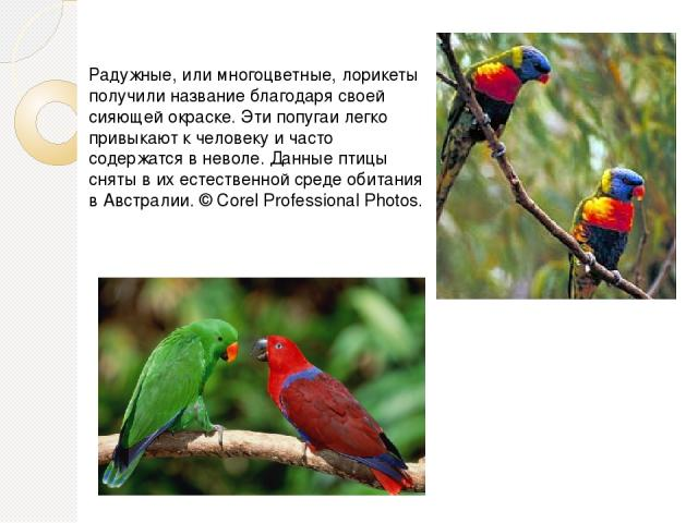 Радужные, или многоцветные, лорикеты получили название благодаря своей сияющей окраске. Эти попугаи легко привыкают к человеку и часто содержатся в неволе. Данные птицы сняты в их естественной среде обитания в Австралии. © Corel Professional Photos.