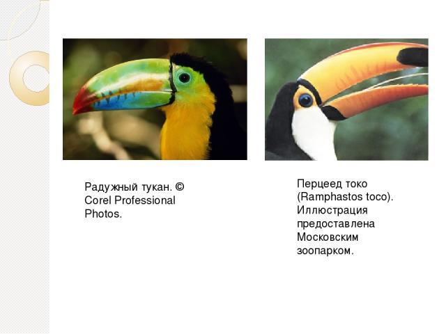 Перцеед токо (Ramphastos toco). Иллюстрация предоставлена Московским зоопарком. Радужный тукан. © Corel Professional Photos.