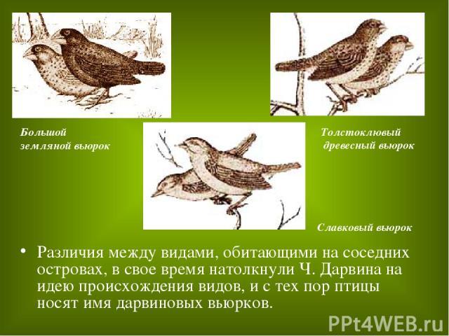 Различия между видами, обитающими на соседних островах, в свое время натолкнули Ч. Дарвина на идею происхождения видов, и с тех пор птицы носят имя дарвиновых вьюрков. Славковый вьюрок Толстоклювый древесный вьюрок Большой земляной вьюрок