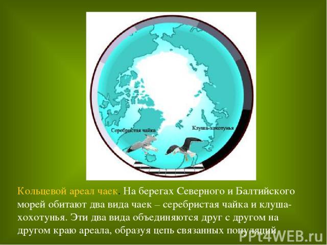 Кольцевой ареал чаек. На берегах Северного и Балтийского морей обитают два вида чаек – серебристая чайка и клуша-хохотунья. Эти два вида объединяются друг с другом на другом краю ареала, образуя цепь связанных популяций