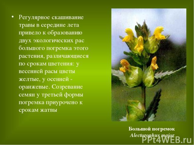 Регулярное скашивание травы в середине лета привело к образованию двух экологических рас большого погремка этого растения, различающиеся по срокам цветения: у весенней расы цветы желтые, у осенней - оранжевые. Созревание семян у третьей формы погрем…