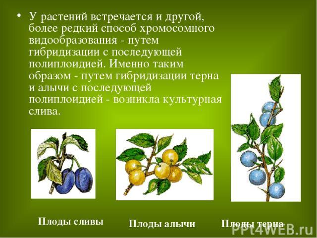 У растений встречается и другой, более редкий способ хромосомного видообразования - путем гибридизации с последующей полиплоидией. Именно таким образом - путем гибридизации терна и алычи с последующей полиплоидией - возникла культурная слива. Плоды …