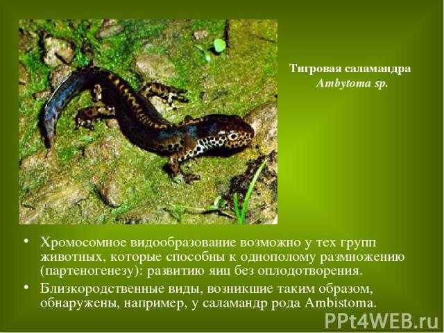 Хромосомное видообразование возможно у тех групп животных, которые способны к однополому размножению (партеногенезу): развитию яиц без оплодотворения. Близкородственные виды, возникшие таким образом, обнаружены, например, у саламандр рода Ambistoma.…