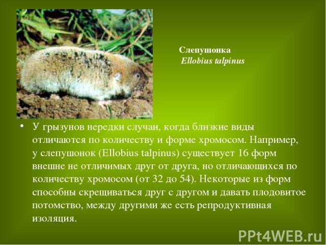 У грызунов нередки случаи, когда близкие виды отличаются по количеству и форме хромосом. Например, у слепушонок (Ellobius talpinus) существует 16 форм внешне не отличимых друг от друга, но отличающихся по количеству хромосом (от 32 до 54). Некоторые…