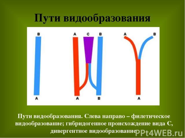 Пути видообразования Пути видообразования. Слева направо – филетическое видообразование; гибридогенное происхождение вида С, дивергентное видообразование