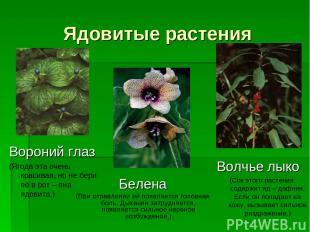 Ядовитые растения Белена (При отравлении её появляется головная боль. Дыхание за