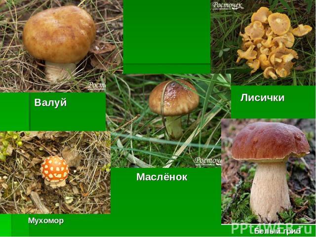 Валуй Лисички Маслёнок Мухомор Белый гриб
