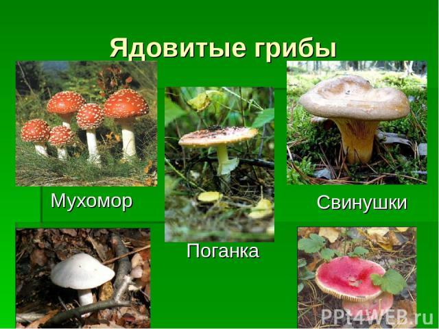 Ядовитые грибы Мухомор Поганка Свинушки