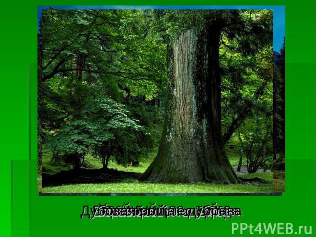 Хвойный лес - тайга Сосновый лес - бор Еловый лес - ельник Берёзовый лес - роща Дубовая роща - дубрава