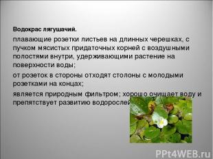 Водокрас лягушачий. плавающие розетки листьевна длинных черешках, с пучкоммяси