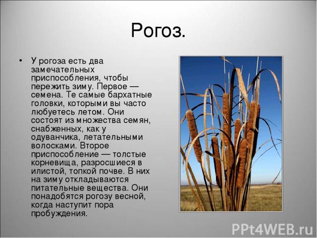 Рогоз. У рогоза есть два замечательных приспособления, чтобы пережить зиму. Первое — семена. Те самые бархатные головки, которыми вы часто любуетесь летом. Они состоят из множества семян, снабженных, как у одуванчика, летательными волосками. Второе …