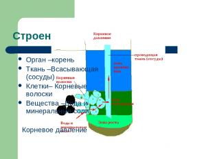 Строение корня Орган –корень Ткань –Всасывающая (сосуды) Клетки– Корневые волоск