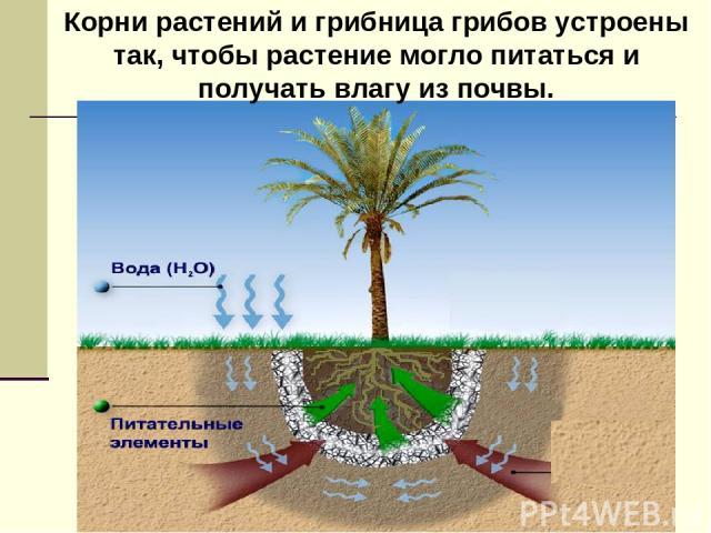 Корни растений и грибница грибов устроены так, чтобы растение могло питаться и получать влагу из почвы.