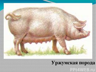 Уржумская порода