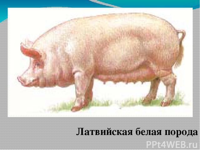 Латвийская белая порода