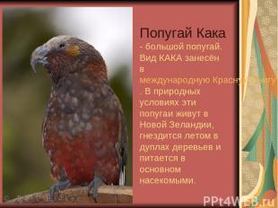 Попугай Кака - большой попугай. Вид КАКА занесён в международную Красную Книгу.