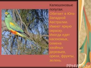 Капюшоновые попугаи. Обитает в Юго-Западной Австралии. Имеют яркую окраску. Иног