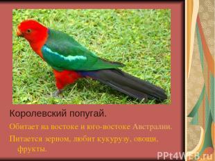 Королевский попугай. Обитает на востоке и юго-востоке Австралии. Питается зерном