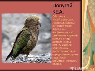 Попугай КЕА. Обитает в Новой Зеландии. Растительноядны, питаются также взрослыми