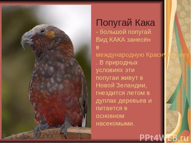 Попугай Кака - большой попугай. Вид КАКА занесён в международную Красную Книгу. В природных условиях эти попугаи живут в Новой Зеландии, гнездится летом в дуплах деревьев и питается в основном насекомыми.