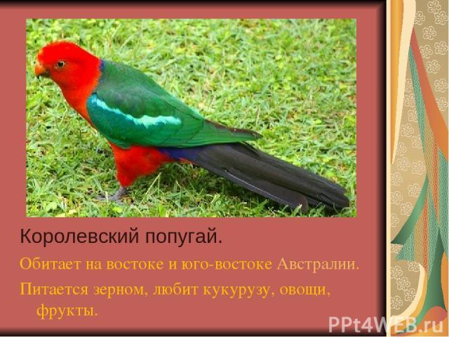 Королевский попугай. Обитает на востоке и юго-востоке Австралии. Питается зерном, любит кукурузу, овощи, фрукты.