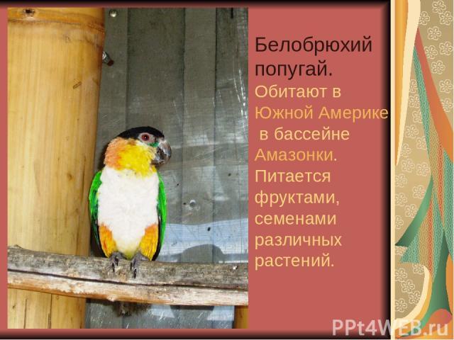 Белобрюхий попугай. Обитают в Южной Америке в бассейне Амазонки. Питается фруктами, семенами различных растений.