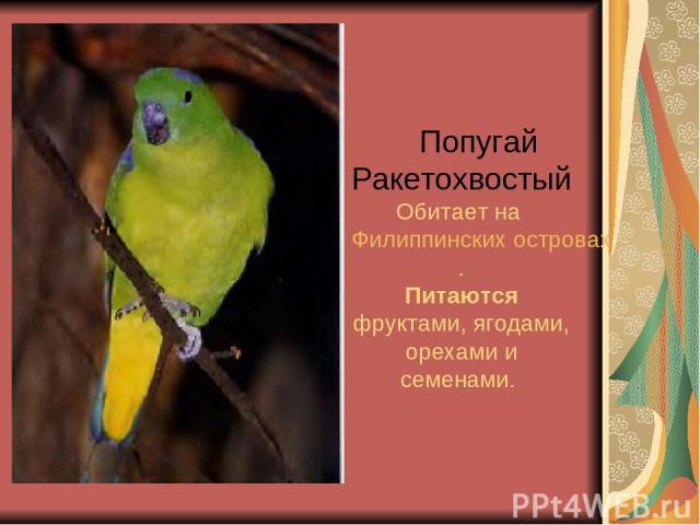 Попугай Ракетохвостый Обитает на Филиппинских островах. Питаются фруктами, ягодами, орехами и семенами.