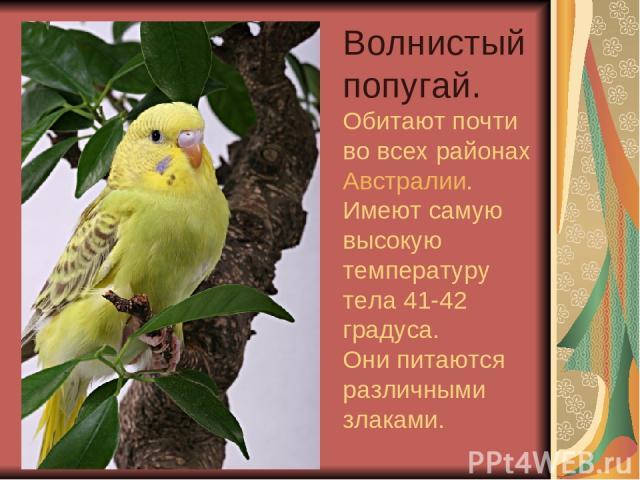 Волнистый попугай. Обитают почти во всех районах Австралии. Имеют самую высокую температуру тела 41-42 градуса. Они питаются различными злаками.