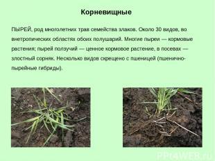 ПЫРЕЙ, род многолетних трав семейства злаков. Около 30 видов, во внетропических