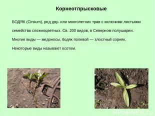 БОДЯК (Cirsium), род дву- или многолетних трав с колючими листьями семейства сло