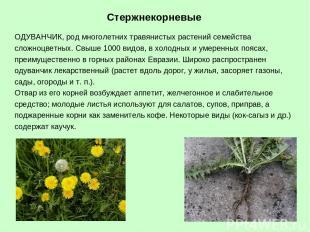 ОДУВАНЧИК, род многолетних травянистых растений семейства сложноцветных. Свыше 1