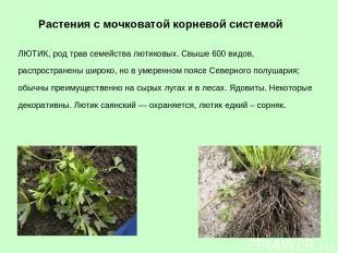 ЛЮТИК, род трав семейства лютиковых. Свыше 600 видов, распространены широко, но