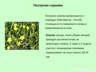 Ползучие сорняки размножаются с помощью побегов(усов , плетей), стелющихся по по