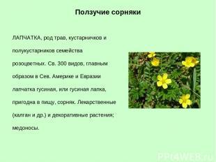ЛАПЧАТКА, род трав, кустарничков и полукустарников семейства розоцветных. Св. 30