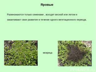 Яровые мокрица Размножаются только семенами , всходят весной или летом и заканчи