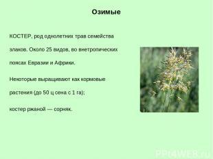 КОСТЕР, род однолетних трав семейства злаков. Около 25 видов, во внетропических