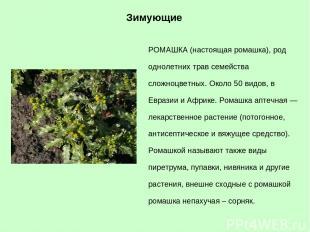 РОМАШКА (настоящая ромашка), род однолетних трав семейства сложноцветных. Около
