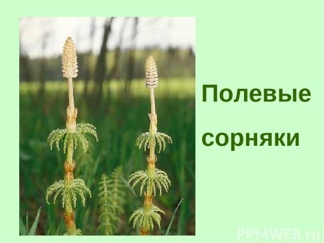 Полевые сорняки